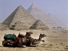 Camels of Giza