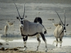 Gemsbok Waterhole