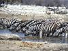 zebras-pano